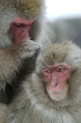 One snow monkey grooms another in the hot springs in Japan.
