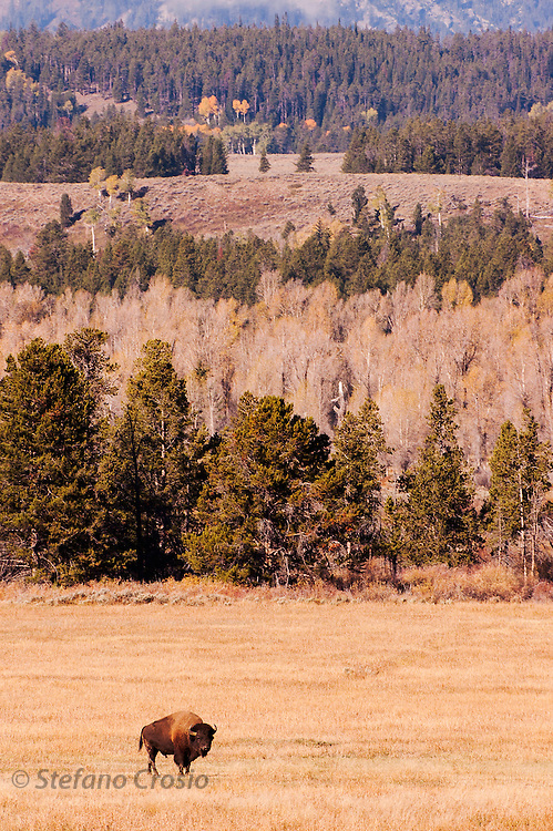 USA, Grand Teton National Park (WY)<br /> Bison (Bison bison) in the Snake River valley