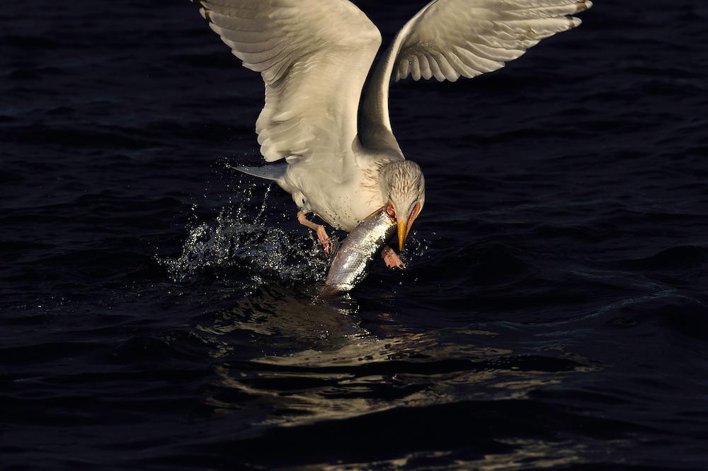 Herring gulls, Larus argentatus, eating herring,  Clupea harengus,  Flatanger, Nord-Tröndelag, Norway