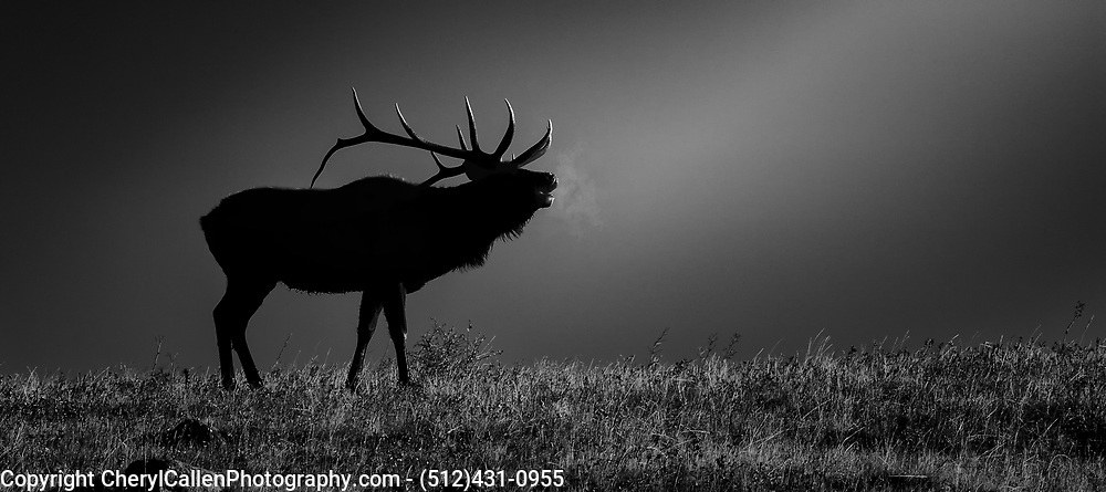 Bull Elk Bugling in the early morning