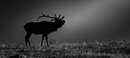 Bull Elk Bugling in the early morning