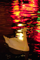 Amsterdam, Holland. Swan and neon lights reflected in a canal in the red light district.