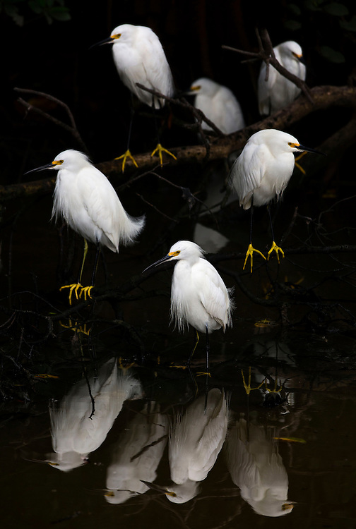 Snowy egrets gather to fish for minnows, Ding Darling National Wildlife Refuge, USA.