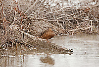 A female Cinnamon Teal rests on a log along a canal at a northern Utah bird refuge.