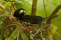 Long-tailed Paradigalla (Paradigalla carunculata) female at nest
