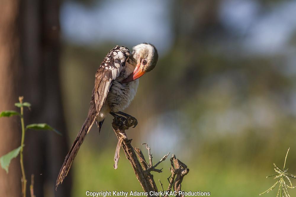 Red-billed hornbill, Tockus erythrorhynchus, preeding, Tarangire National Park, Manyara Region, Tanzania, Africa.