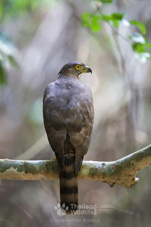 The crested goshawk (Accipiter trivirgatus) is a bird of prey from tropical Asia. It is related to other diurnal raptors such as eagles, buzzards  and harriers, and thus placed in the family Accipitridae.