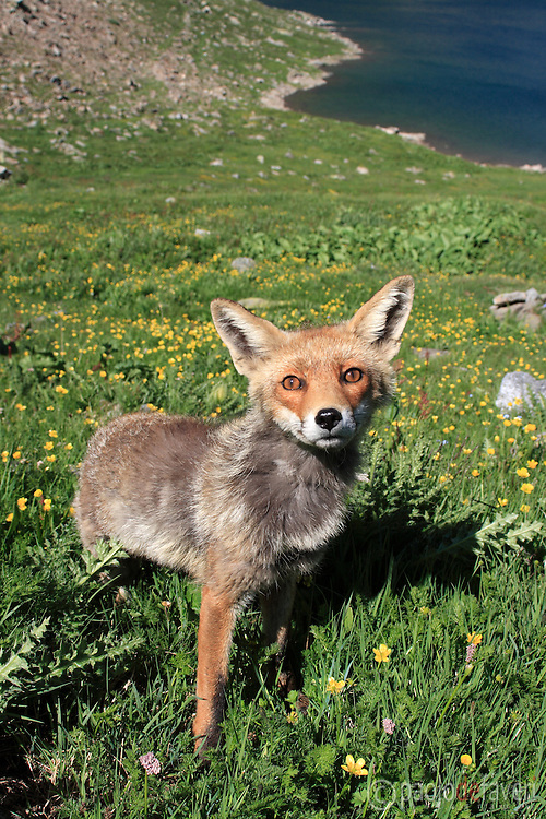This wonderful specimen of red fox approached me without any fear while I was walking on my trail, and she accompained me along my hiking for more than a hour. I had the chance to photograph this incredibly friendly fox with all my lenses, from 12 to 200 mm. Actually, I made a complete portfolio of her, of more than 70 pictures!   I took this picture at around 13:00, while I was headed to the lakes area of the Gran Paradiso National Park, the largest wild area of Italy. This park is located in the Western Alps around the border between Piedmont and Valle d'Aosta, and it is truely a wildlife paradise. Many species live there, such as chamoises, ibexes, marmots, eagles, hawks, foxes  and, recently re-introduced, grey wolves and black bears.