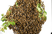 Honey bee (Apis mellifera) swarm. Swarming. When the size of the colony reaches a certain stage, usually in Spring or Summer when the nectar flow is at its greatest, the queen and a great many workers, leave the hive in a swarm. The swarm comes to rest in a great cluster on a tree branch or similar situation. Scout bees, who may have left the hive some days before, seek out a suitable situation for a new nest and return to the swarm and communicate this information, whereupon the whole swarm moves off to the new site. Kiel, Germany | Dieser Schwarm von Honigbienen (Apis mellifera) ist vor wenigen Minuten aus seinem vertrauten Bienenstock ausgeflogen: Das Bienenvolk will sich teilen. Dafür fliegt die alte Königin aus, etwa 20 000 weitere Bienen folgen ihr. Schließlich sammelt sich der Schwarm in einem nahegelegen Strauch.  Kiel, Deutschland