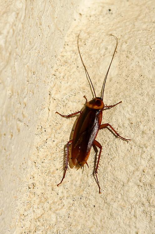 Cockroach in Puerto Rico