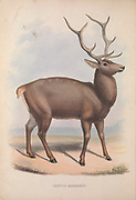 Barbary stag (Cervus elaphus barbarus or Cervus barbarus) From the book Zoologia typica; or, Figures of new and rare animals and birds described in the proceedings, or exhibited in the collections of the Zoological Society of London. By Fraser, Louis. Zoological Society of London. Published by the author in London, March 1847