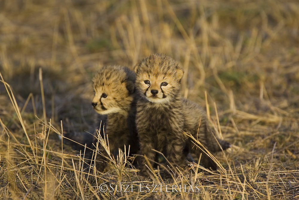 Cheetah<br /> Acinonyx jubatus<br /> 17 day old cubs<br /> Maasai Mara Reserve, Kenya