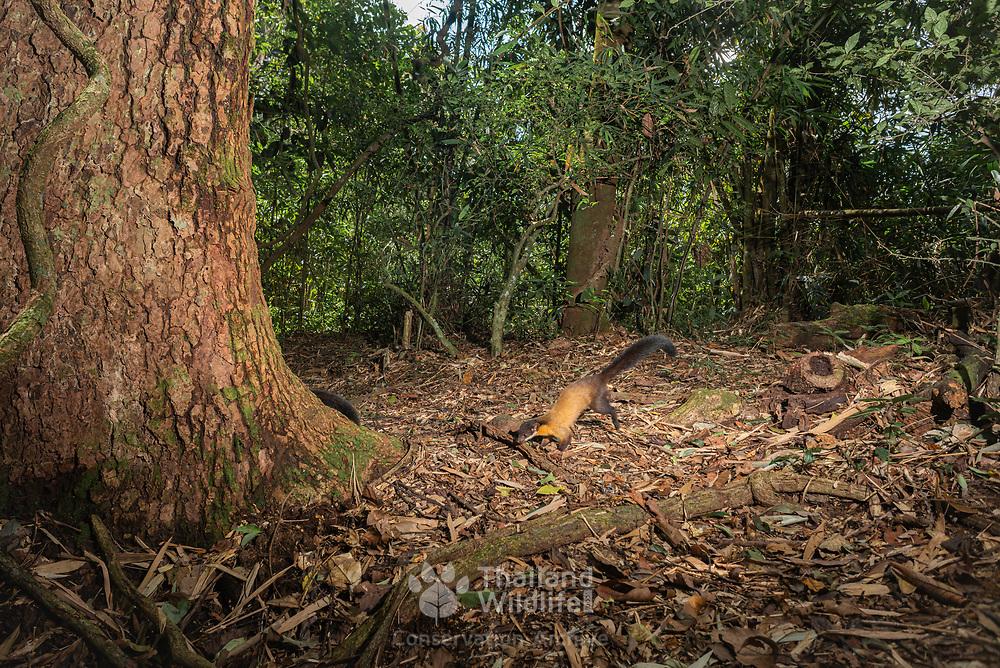 Yellow-throated marten (Martes flavigula). Kaeng Krachan National Park, Thailand.