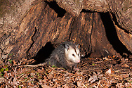 Virginia opossum  or North American Oppossum (Didelphis virginiana)<br /> United States: Alabama: Tuscaloosa Co.<br /> Tulip Tree Springs off Echola Rd.; Elrod<br /> 28-Jan-2017<br /> J.C. Abbott &amp; K.K. Abbott<br /> captured with trap camera