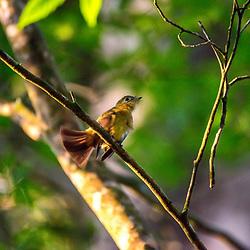 """""""Assanhadinho (Myiobius barbatus) fotografado em Linhares, Espírito Santo -  Sudeste do Brasil. Bioma Mata Atlântica. Registro feito em 2013.<br /> <br /> <br /> <br /> ENGLISH: Whiskered Flycatcher photographed in Linhares, Espírito Santo - Southeast of Brazil. Atlantic Forest Biome. Picture made in 2013."""""""