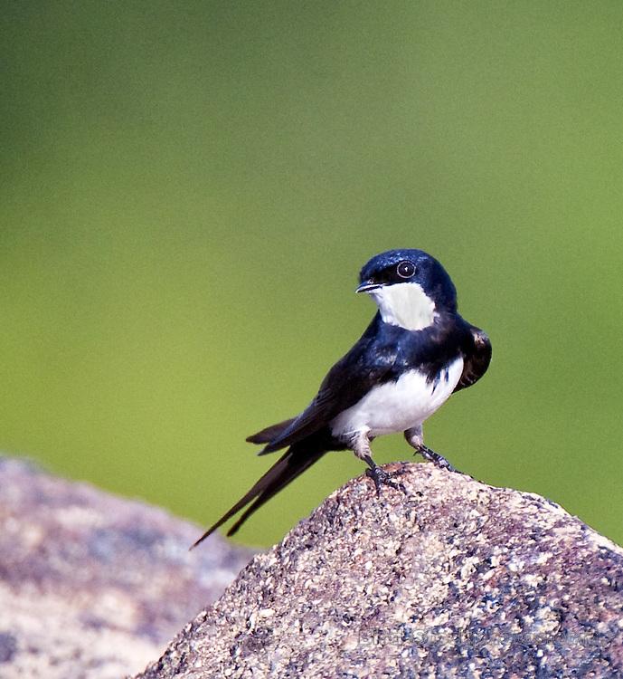 Black-collared Swallow, Atticora melanoleuca, Guyana, by Owen Deutsch