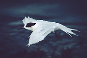 White-fronted Tern in flight, Curio Bay, Catlins, New Zealand
