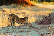 A cheetah using an old termite mound to watch for approaching prey in Moremi National Park, Botswana, Africa