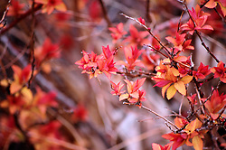 Red Leaves on a Spring Day