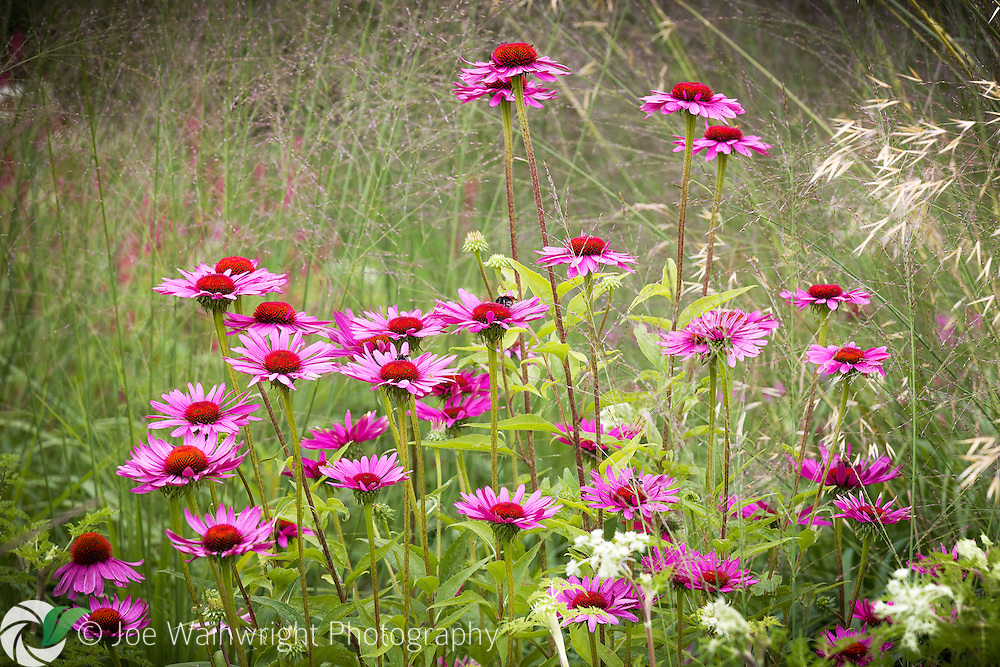 The mixture of grasses and echinacea, makes a very attractive combination in this English garden, photographed in August.