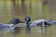 Adult loon feeding other adult loon dragon fly larvae, with two chicks.