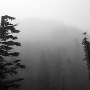 Trees in fog - Mt. Rainier National Park, WA