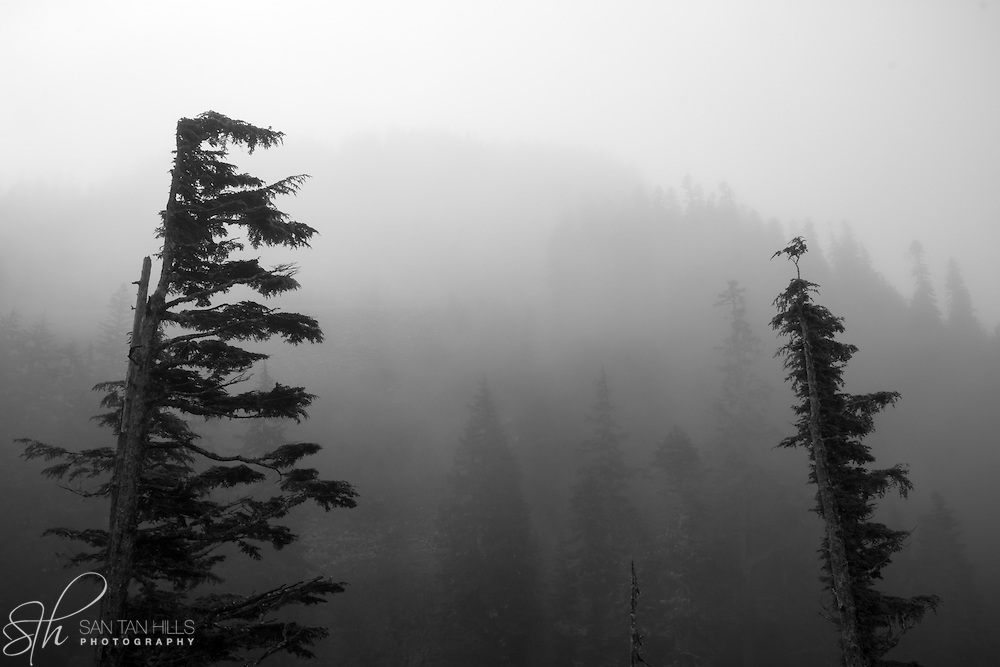 Trees in fog - Mt. Rainier National Park, WA