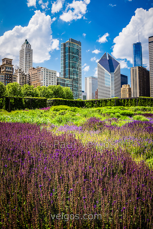 Picture of Chicago Skyline with Lurie Garden flowers and downtown Chicago buildings. Large picture is high quality and high resolution.