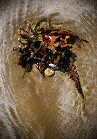 A natural collection of various seaweed and shells on the beach, as made by the ocean tide