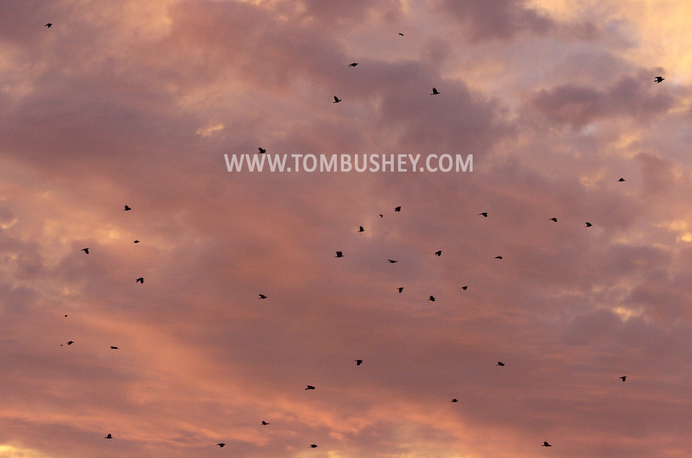 Middletown, NY - Crows fly off to their roosting site at sunset on the evening of  Dec. 14, 2008.
