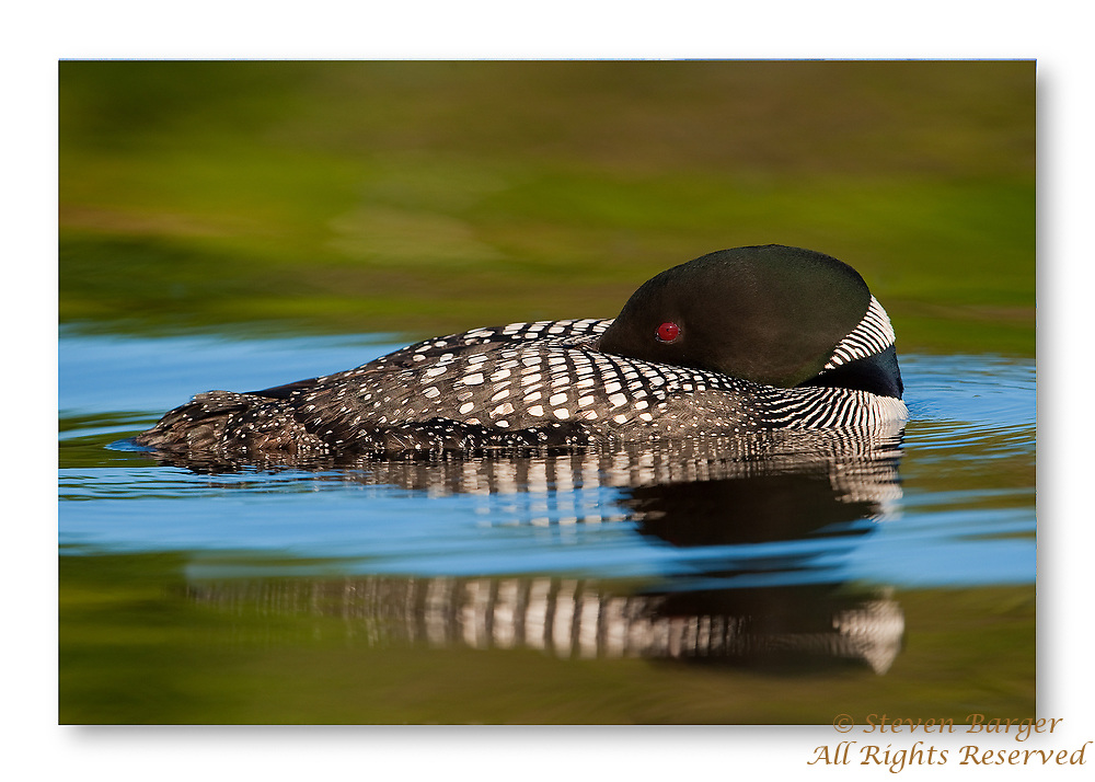 Common Loon photographed at water level resting on Nettie Lake in northern Michigan.