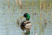 Drake Mallard swims in the new grasses on the edge of a flooded pond.