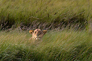 Lioness hunting, using grass for cover. Serengeti National Park, Tanzania