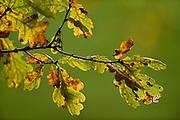 Zerfressene Eichenblätter im Herbst