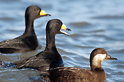 Black Scoters, Melanitta nigra, males and female, Barnegat Light, New Jersey
