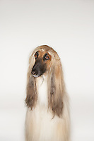 Afghan hound sitting front view