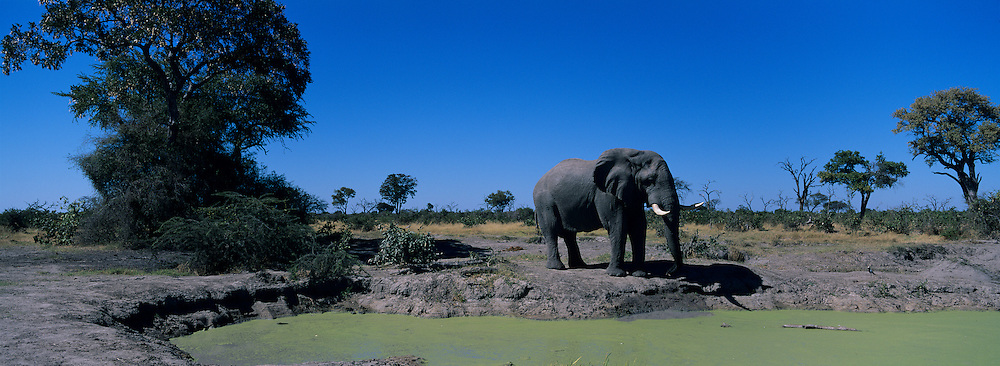 Botswana, Chobe National Park, Elephant (Loxodonta africana) drinks from algae covered water hole in Savuti Marsh