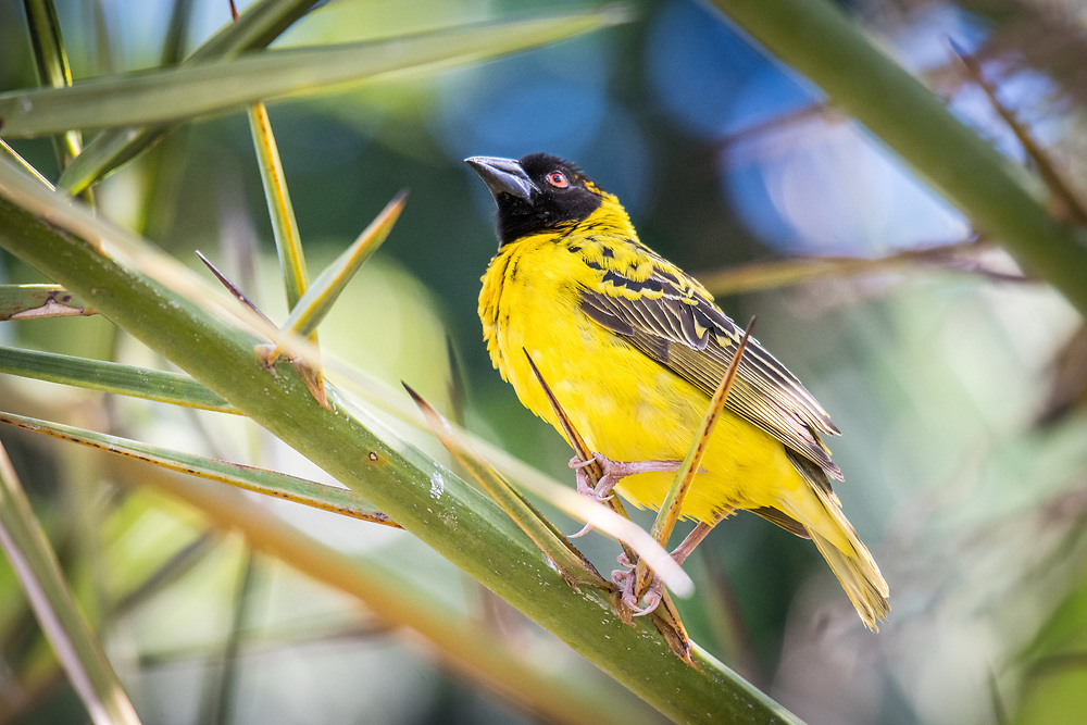 Male Village weaver (Ploceus cucullatus) perching on a reed in Hwange National Park. Hwange, Zimbabwe