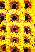 Sunflowers grouped together to form a seamless background