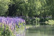 The lupins are literally shimmering from the light reflecting off the pool of water adjacent to the Ahuriri River.