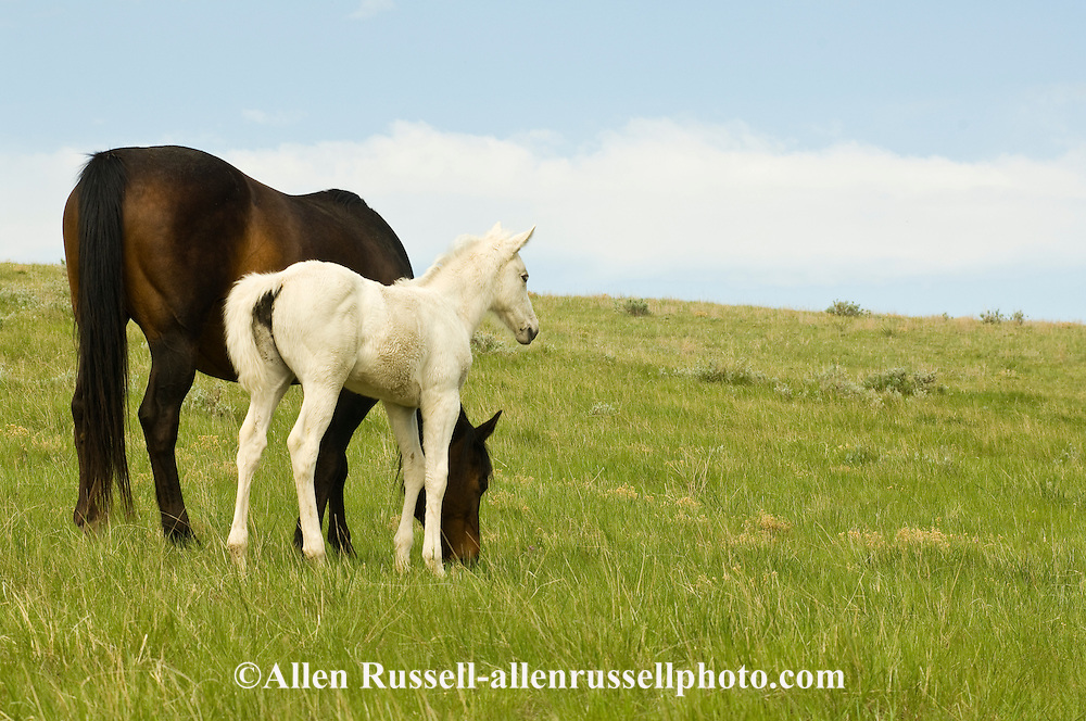 Quarter Horses, brown mare and gray foal<br /> PROPERTY RELEASED