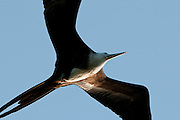 Magnificent Frigatebird (Fregata magnificens) on fly at Pacheca Island. Las Perlas Archipelago, Panama province,  Panama, Central America.