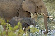 African elephants, Loxodonta africana, Tarangire NP, Tanzania