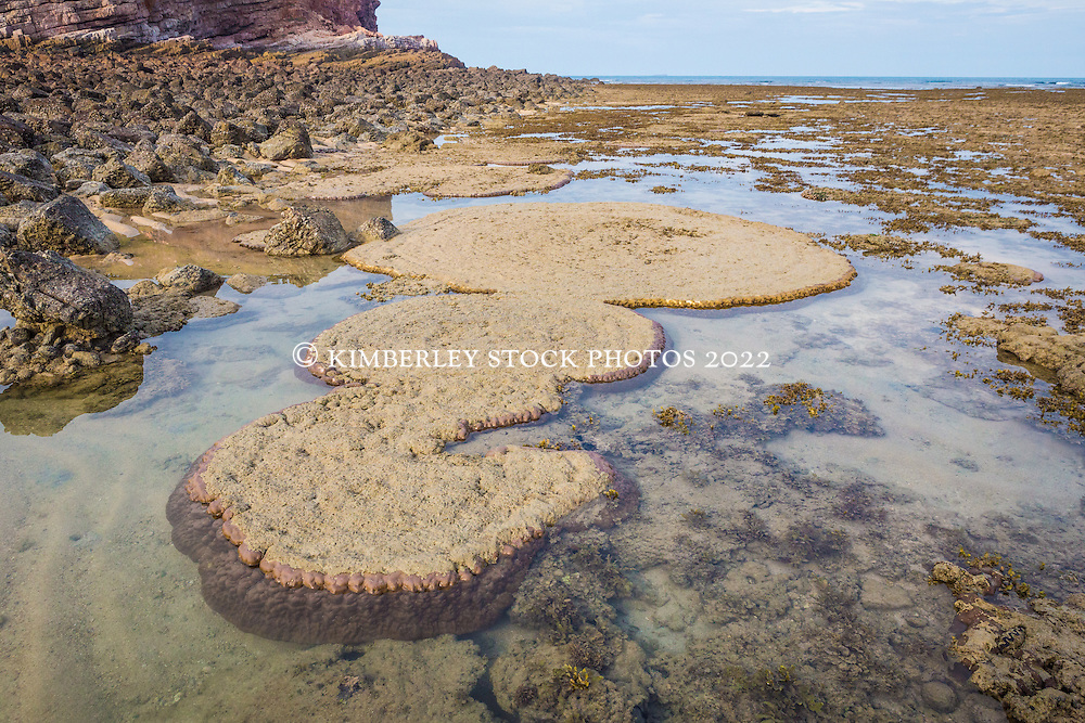 A micro atoll of coral (Porites lobata) is exposed in a shallow pool in the intertidal zone at Macleay Island on the Kimberley coast.