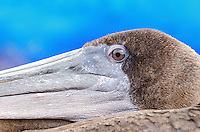 Close up of a Brown Pelican at the fish market in Puerto Ayora on Santa Cruz Island in Galapagos, Ecuador.