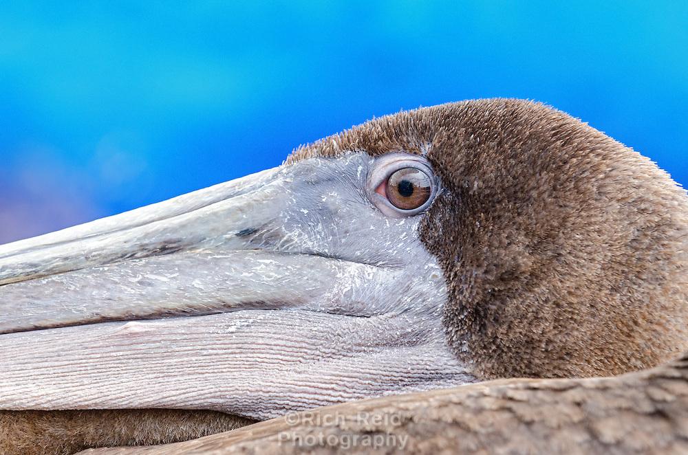 Close up of a Brown Pelican at the fish market in Puerto Ayora on Santa Cruz Island in Galapagos, Ecuador.