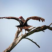Turkey Vulture (Cathartes aura), adult perched, Ben Bolt County, Rio Grande Valley, Texas, US.