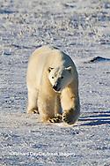 01874-12415 Polar bear (Ursus maritimus) walking in winter, Churchill Wildlife Management Area, Churchill, MB Canada
