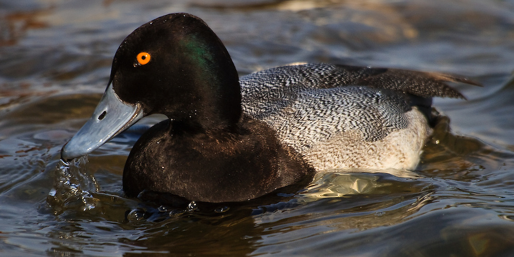 Panoramic format portrait of an adult male lesser scaup (Aythya affinis), in nonbreeding plumage,  feeding on the Choptank River, Cambridge, Maryland.