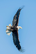 Bald eagle in flight against clear sky, banking sharply, making primary wing feathers bend, © 2005 David A. Ponton